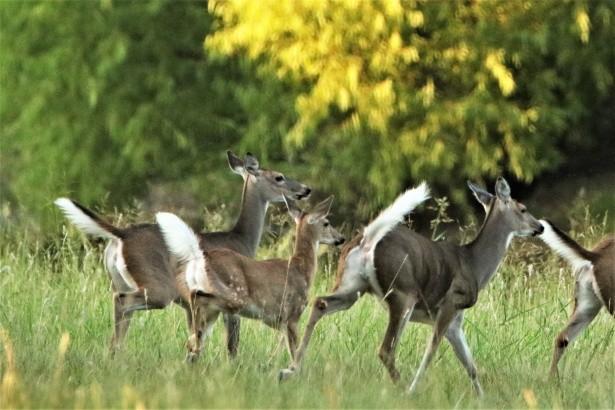 White Deer Habitat