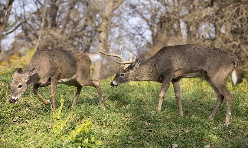 White-Tailed Deer Favorite Food