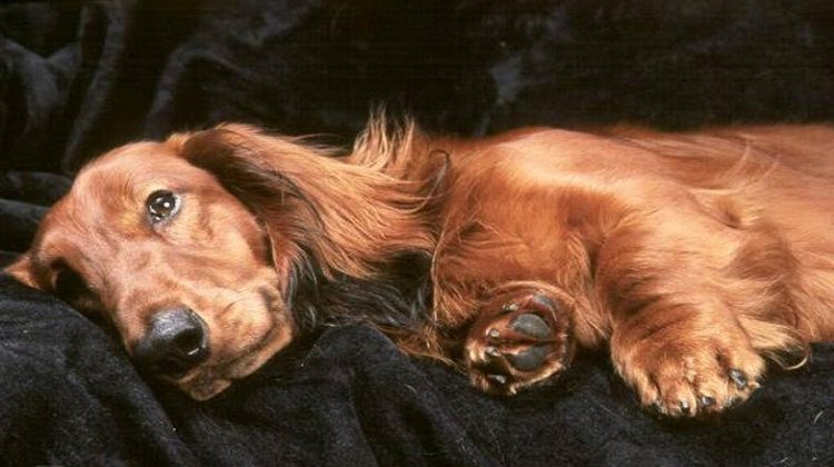How Long Does A Dog Stay In Heat? Usually Lasts Between 2-4 Weeks