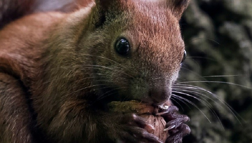 do-squirrels-carry-rabies-are-squirrels-nocturnal-omnivores