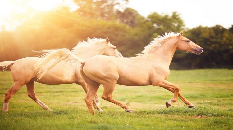 How Much Horsepower Does A Horse Have? Almost 15 Horsepower
