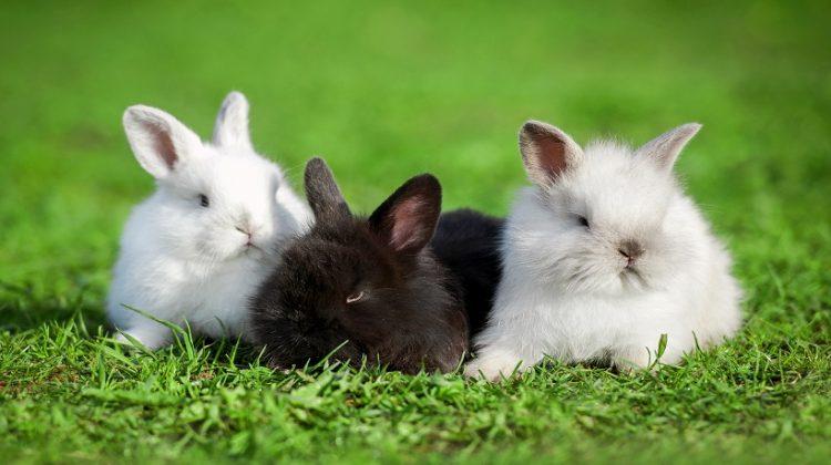 Angora Rabbits Kinds
