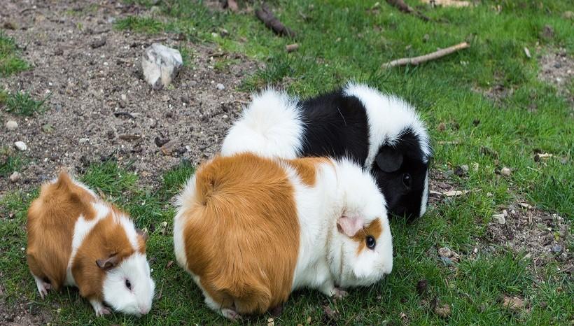Angora rabbit Kinds
