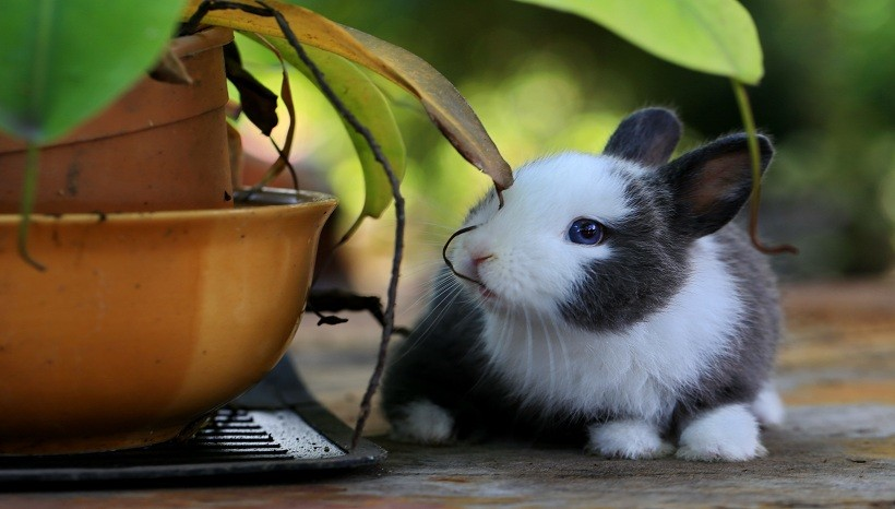 Baby Dutch rabbit