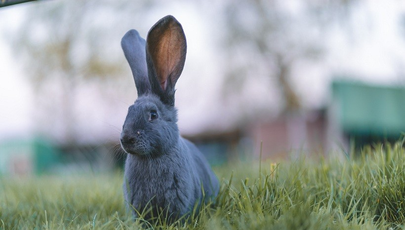 Black Lionhead rabbit