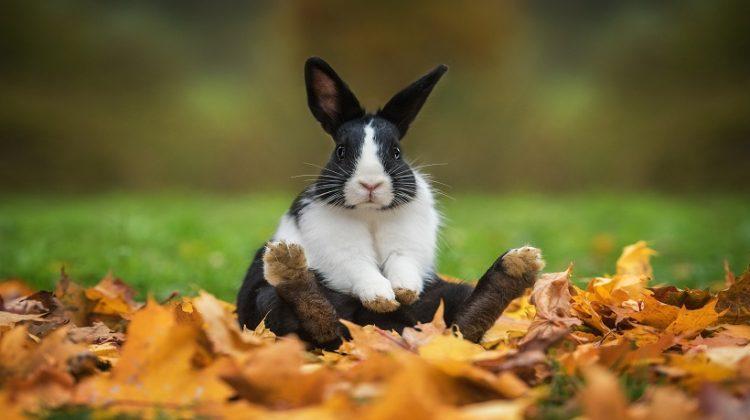 Dutch rabbit Breeds