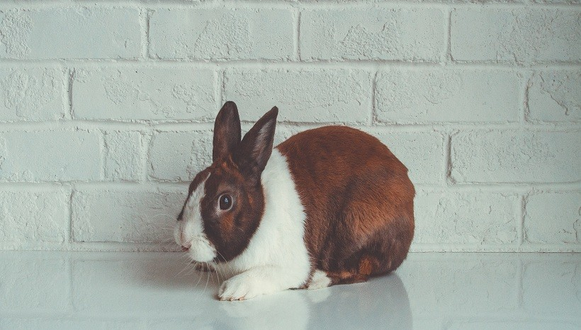 Dutch rabbit kinds