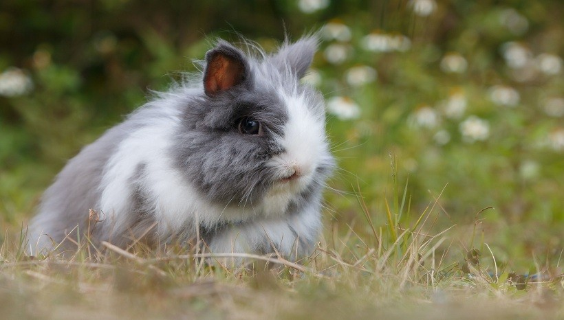 Dwarf Angora Rabbit