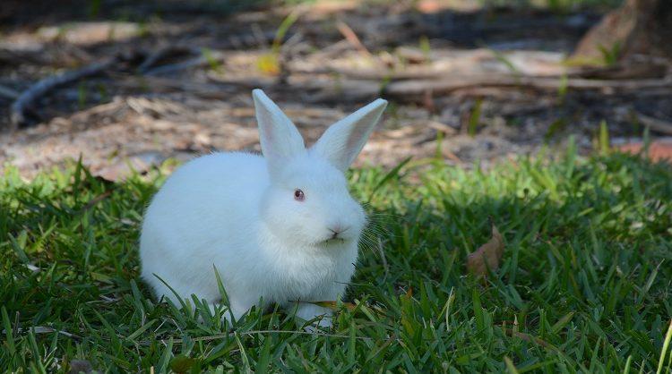 Florida White Rabbit Breedes