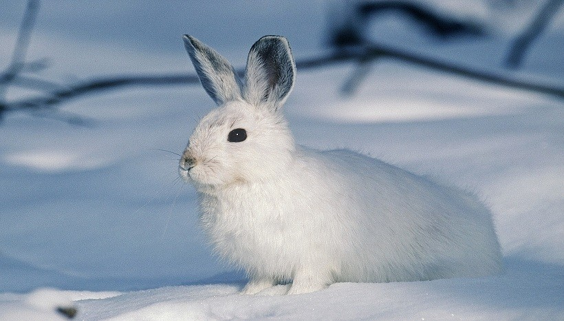 Florida White Rabbit Info