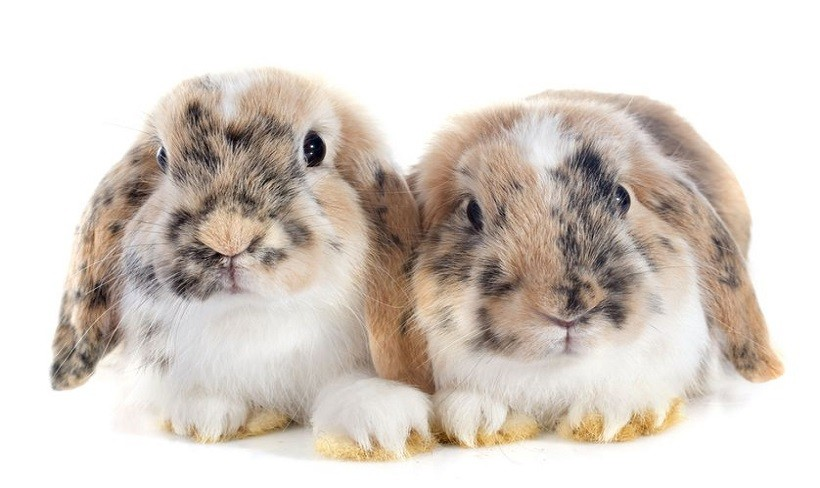 French lop breeders