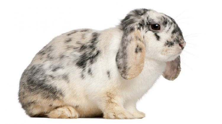 French lop Rabbit Breeds