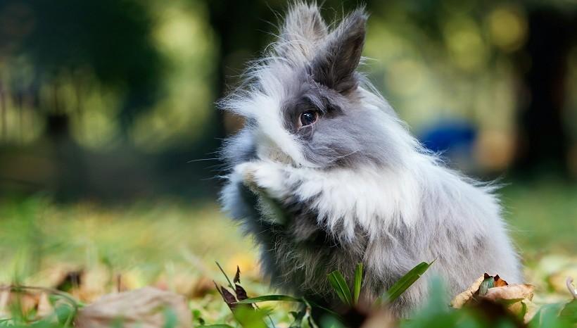 Harlequin Lion Head Rabbit