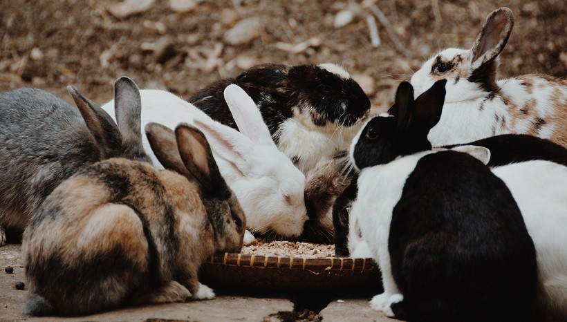 Harlequin Rabbits kinds including Magpie Rabbit and Japanese Harlequin Rabbit