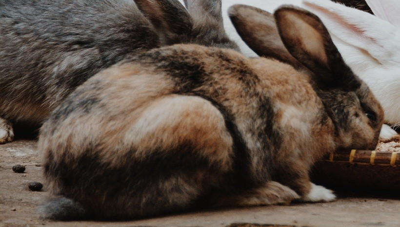 Harlequin Rabbit Kinds