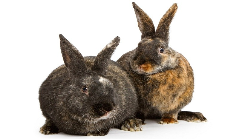 Harlequin Rabbit Colours