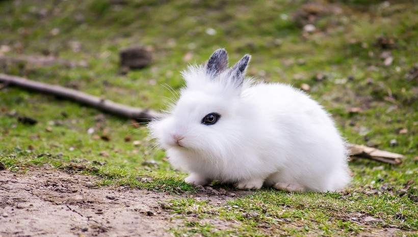 Lionhead rabbit breeds, Care, Size, Diet, Personality and All Information