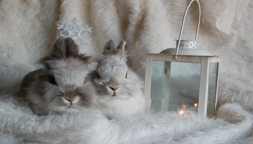 Lionhead rabbit breeds