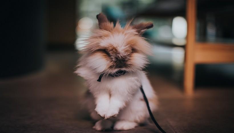 Lionhead rabbit care