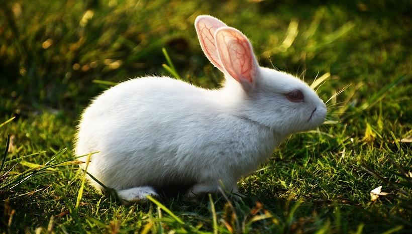 Lionhead rabbit diet