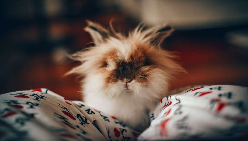 Lionhead rabbit facts