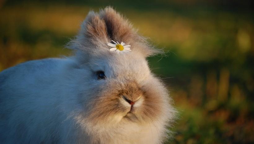 Lionhead rabbit lifespan