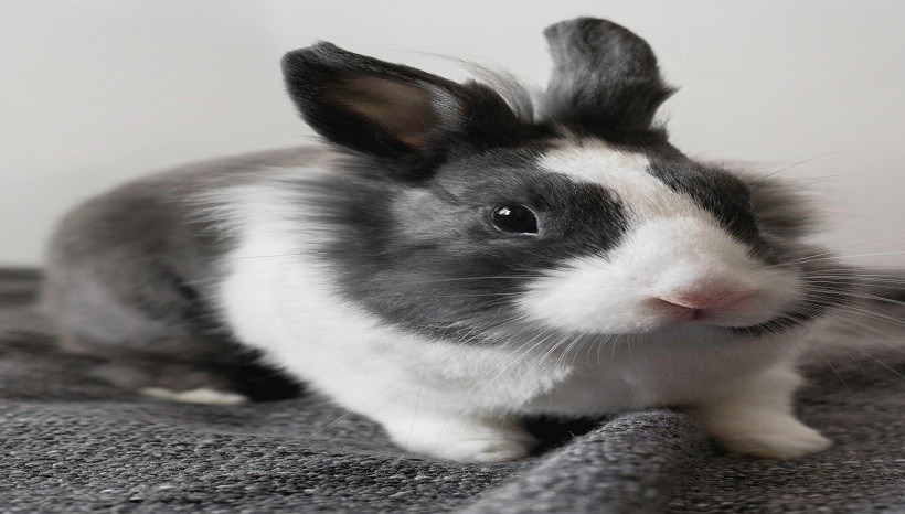 Lionhead rabbit personality