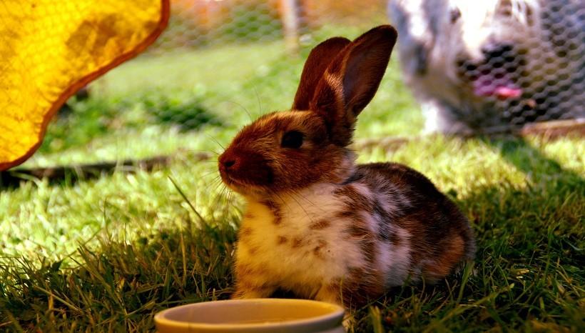 Lionhead rabbit size