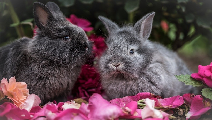 Mini Rex Rabbit Facts