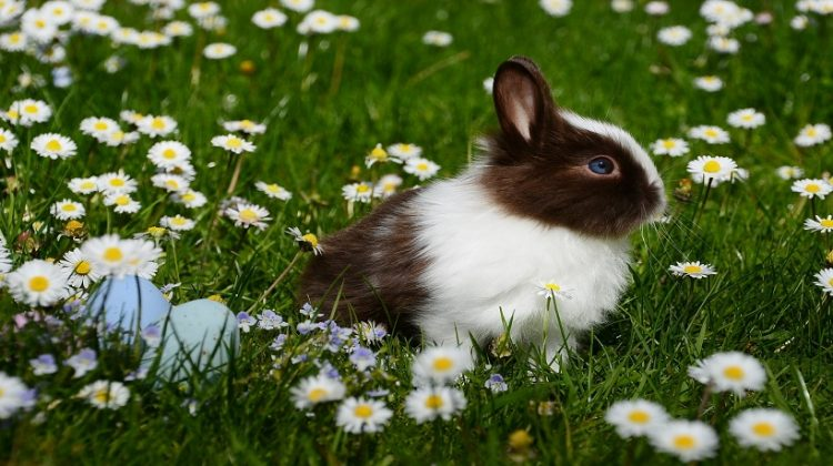 Mini Rex Rabbits Lifespan, Care, Size, Colours, Weight and Other Facts