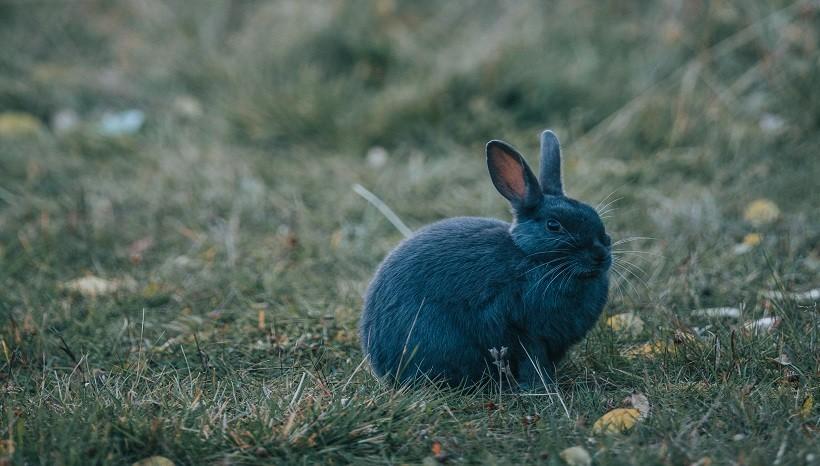 New Zealand blue rabbit