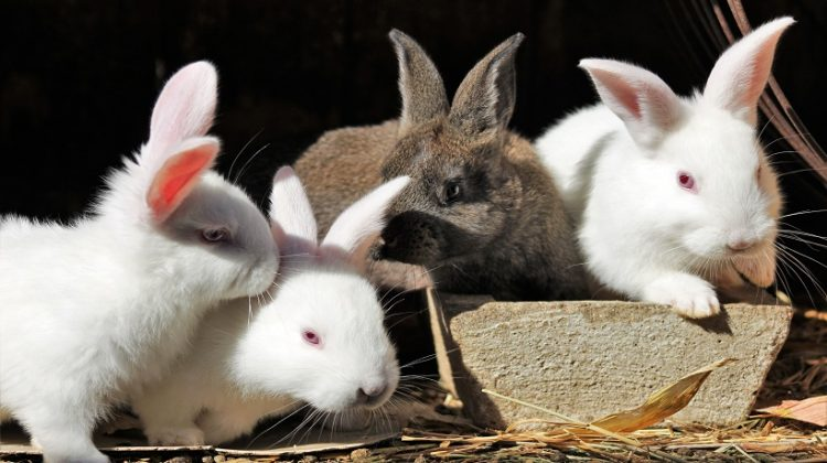 New Zealand Giant Rabbit Breed, Lifespan, Size, Meat, and All Information