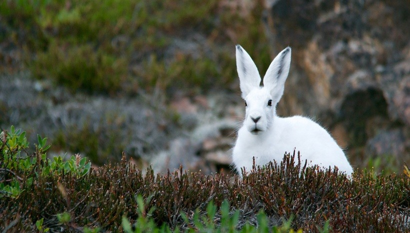 New Zealand giant rabbit