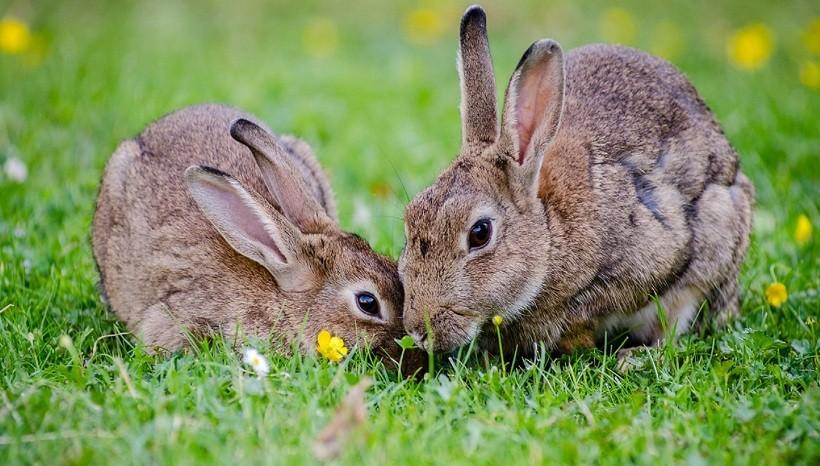New Zealand rabbit breed