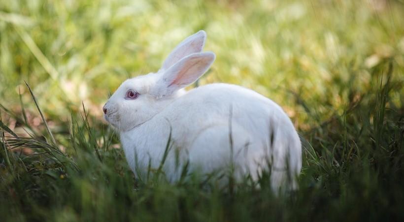 New Zealand white rabbit