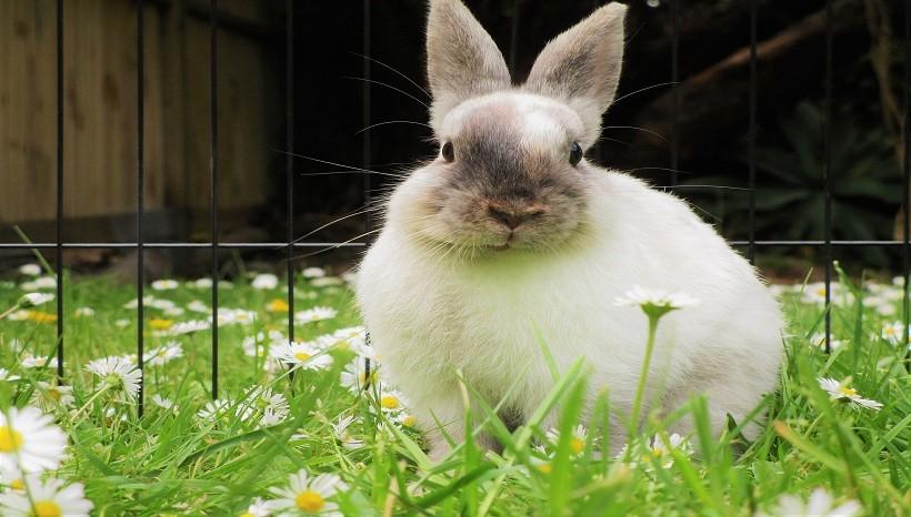 Polish rabbit for sale