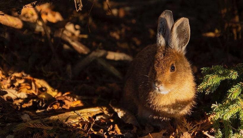Polish rabbit size