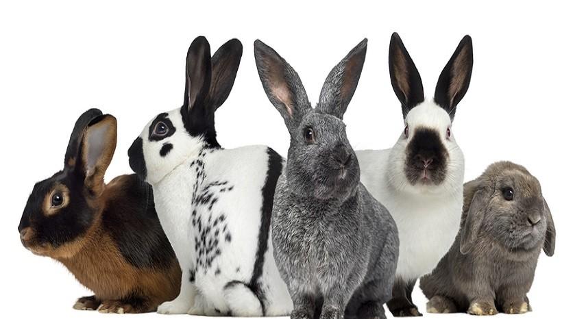 Rabbit Breeds Rex Rabbit English Spot Silver Fox Rabbit Holland Lop