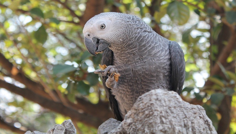 African Grey parrot behavior