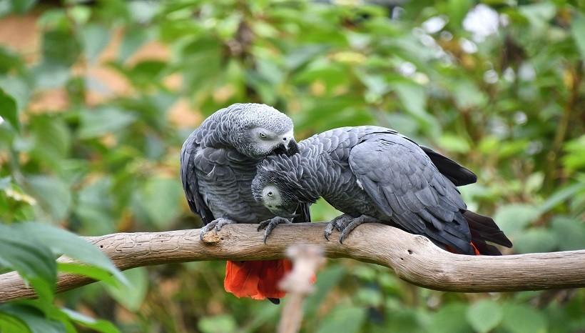 African Grey parrot breeders