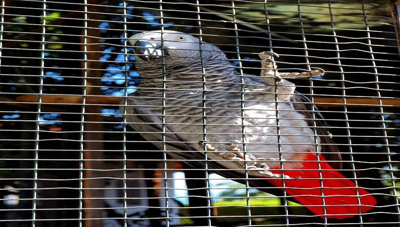 African Grey parrot cage
