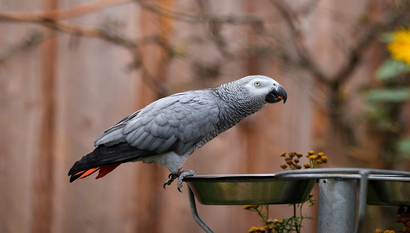 African Grey parrot food