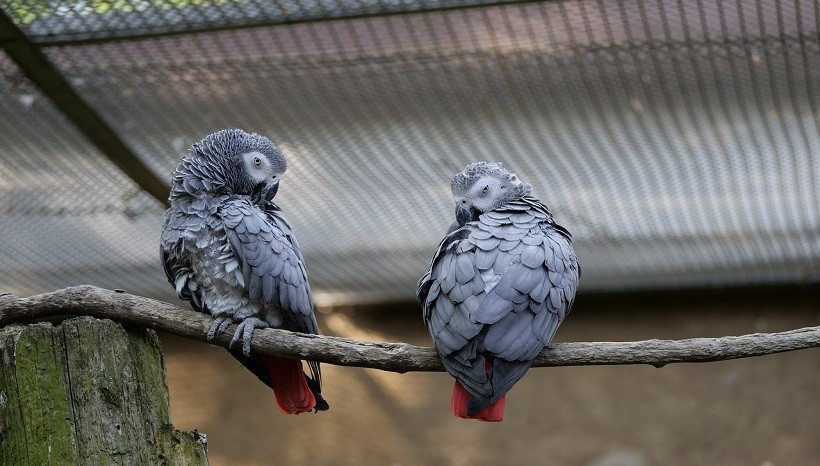 African Grey parrot information