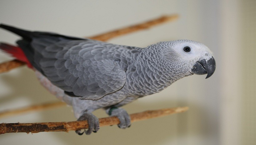 Average lifespan of African Grey parrot