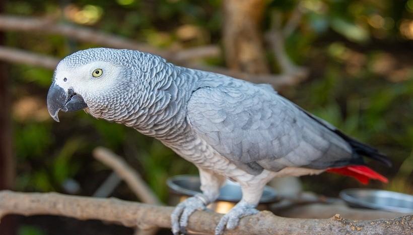 Grey African parrot