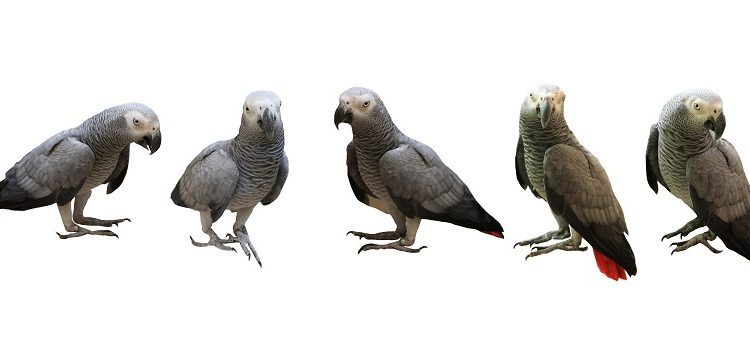 Timneh Congo African Grey Parrot