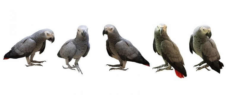 Timneh Congo African Grey Parrot Breeders, lifespan, Diet and All information