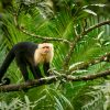 Breeds of Capuchin Monkey as Pet Care, Facts and All Information