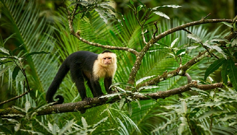 Capuchin Monkey Breeds, Facts, Weight, Size, Diet and All Information A-Z