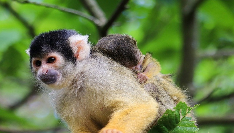 Capuchin Monkey Information